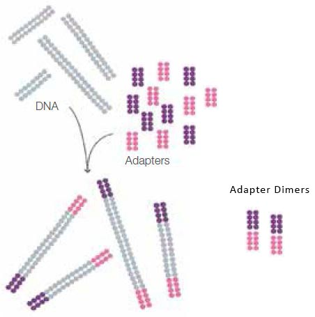 adapter-dimers