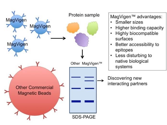 co-immunoprecipitation-interacting-protein-binding