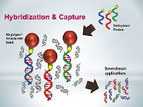 Sequence Specific DNA Capture with MagVigen™ - Streptavidin nanoparticles