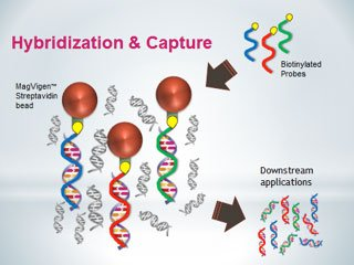dna-capture-with-streptavidin-beads-and-biotinylated-probes