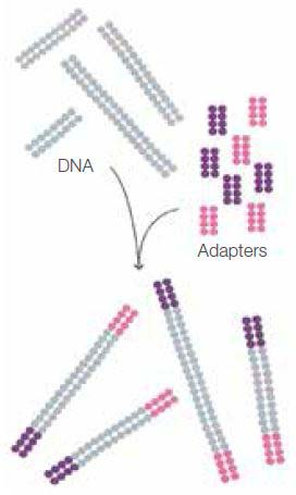 dna-fragments-ligated-with-sequence-adapters