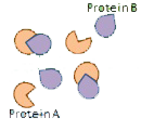 interacting Protein A and Protein B molecules
