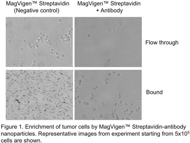 tumor-cells-enrichment-with-magvigen-streptavidin-antibody-nanobeads